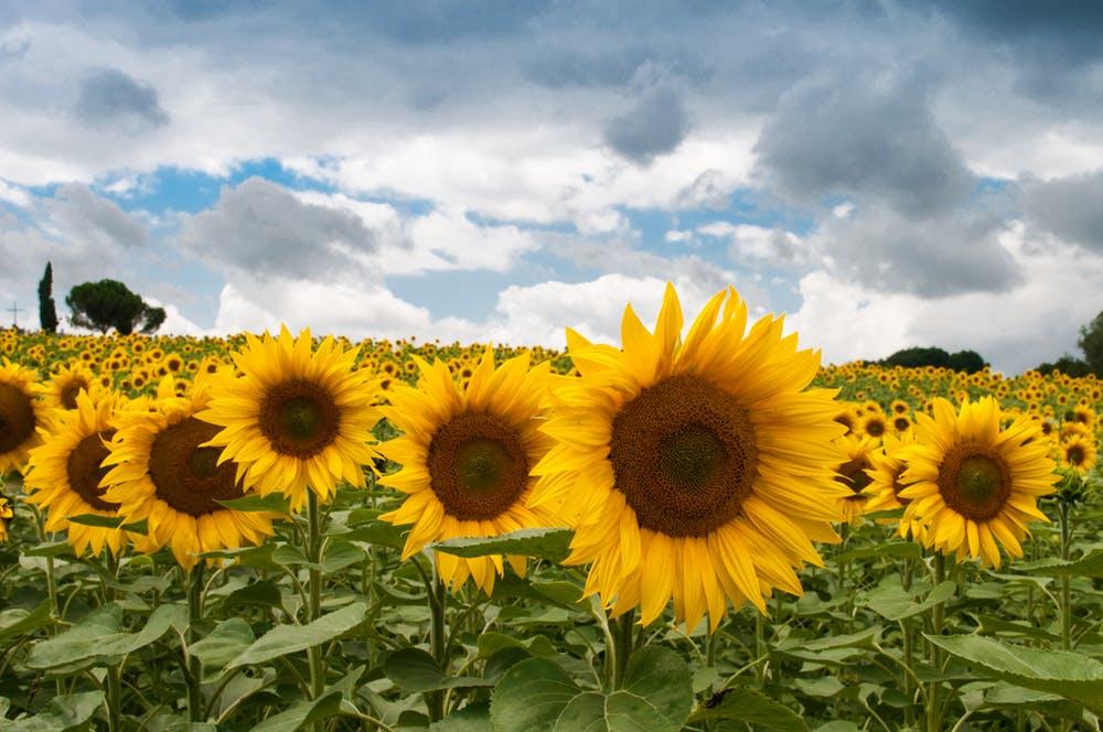 Sonnenblumenfeld sommer